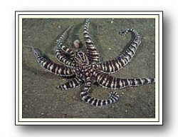 Mimic Octopus - Photo Copyright Jeff Mullins 2010