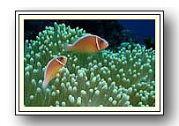 Pink Anemone Fish - Photo Copyright Jeff Mullins 2010